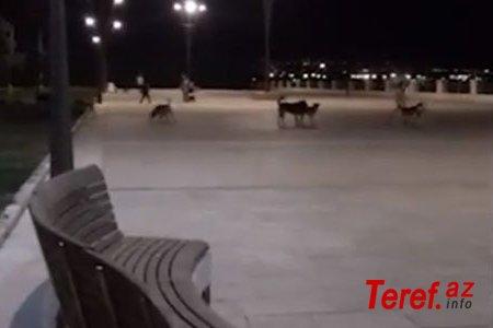 Bakı Bulvarında biabırçılıq: vəhşi itlər insanlara belə hücum etdi (VİDEO)