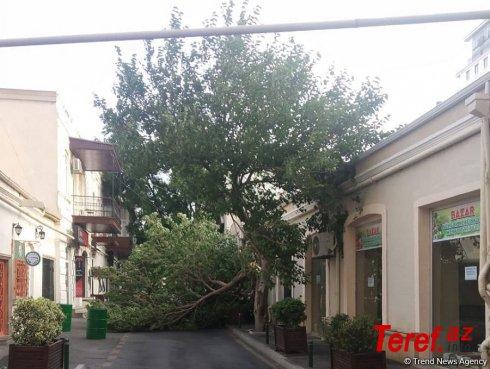 Bakının mərkəzində ağac aşıb (FOTO)